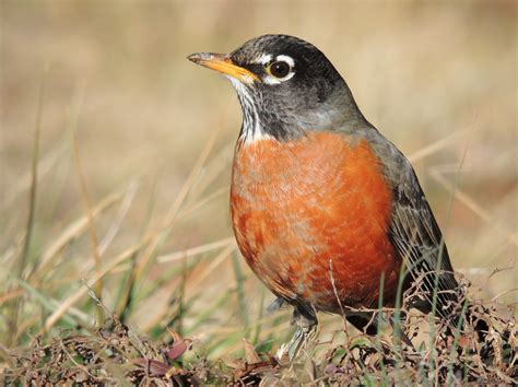 file american robin close up jpg wikimedia commons