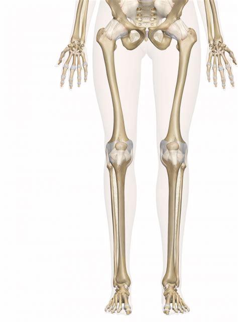 Dog anatomy front legs newhairstylesformen2014 com
