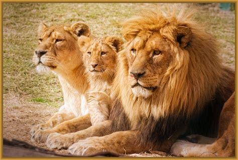 imagenes leones bonitos imagenes de familias de leones bebes imagenes de leones