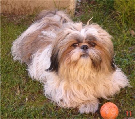 shih tzu eye boogers so many shih tzus on shih tzu shih tzus and puppies for sale