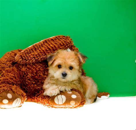 dogs for sale dayton ohio maltese dayton ohio breeds picture