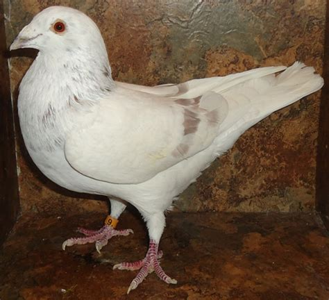 homing pigeons images