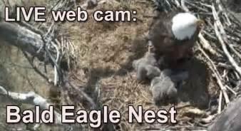 live web cam bald eagle nest wildlife web cams