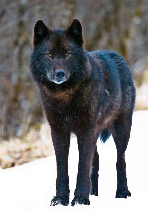 Matters Chemistry 2e alaska s archipelago wolves nearly wiped