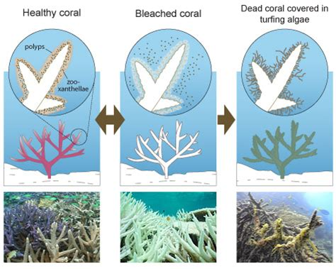 coral bleaching diagram brings the coral reef crisis above the surface