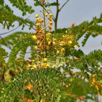 Obat Woods tanaman kayu secang sappan wood bibitbunga