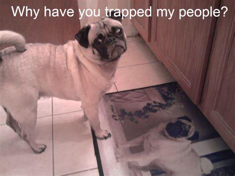 Pug Meme - funny pug dog memes funny pug dog memes captions lol