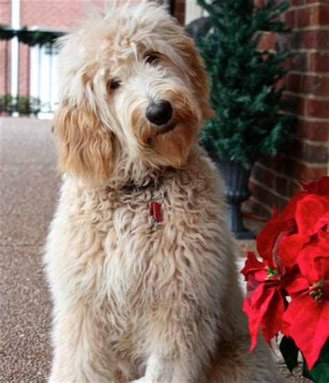 coat types, colors, & grooming goldendoodles of tn