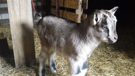 new year for goat 2016 2016 goat a bucky year 183 family farm