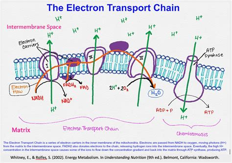 diagram and explain electron transport electron transport chain easy diagram gallery how to