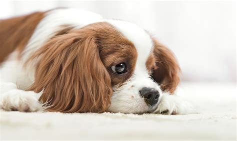 depression in dogs a cure for depression