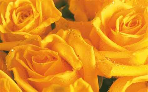 desktop wallpaper yellow roses black and white wallpapers yellow roses yellow wallpaper
