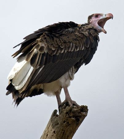 vulture the life of animals