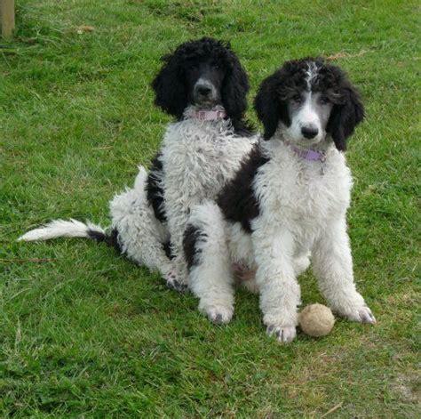 parti colored poodle 17 best images about parti poodles on poodles