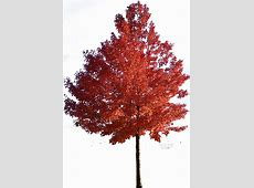 Maple Tree Clipart - Clipart Suggest Japanese Maple Leaf Drawing