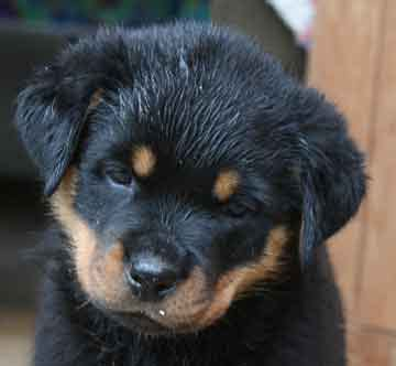 newborn rottweiler puppies rottweiler puppies and stud service breeds picture