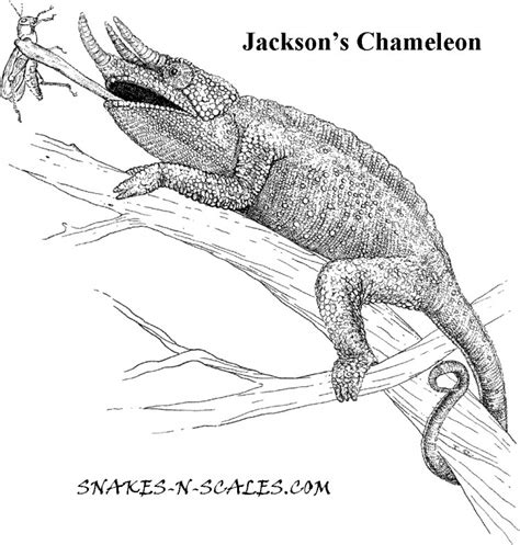 chameleon lizard coloring pages jackson s chameleon coloring page snakes n scales