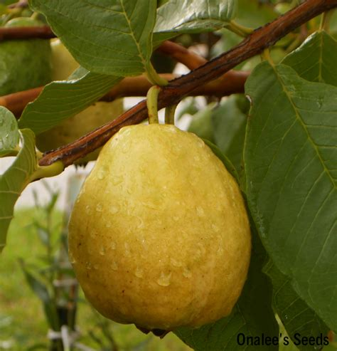 24 white florida pear guava tropical fruit tree seeds - Fruit Tree Seeds