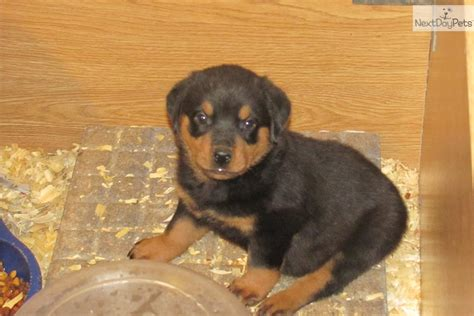 rottweiler for sale in indiana rottweiler puppy for sale near terre haute indiana 1ee853e9 20f1