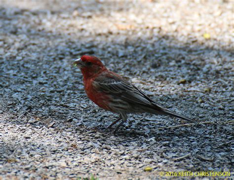 house finch food house finch food 28 images house finch flickr photo