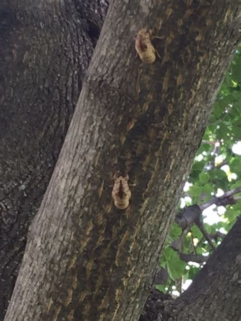 maple tree bugs bugs on my maple tree ask an expert