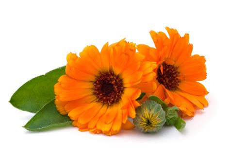 fiore di calendula calendula for s cuts and bruises