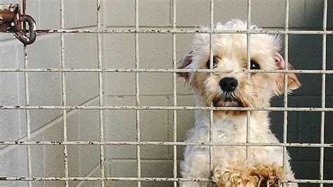 puppy farms the shocking cost of puppy farming pawpost
