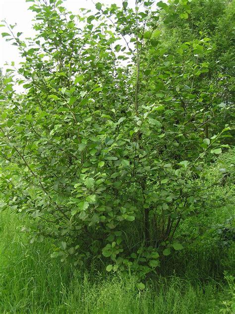kitchen witch blog alder tree