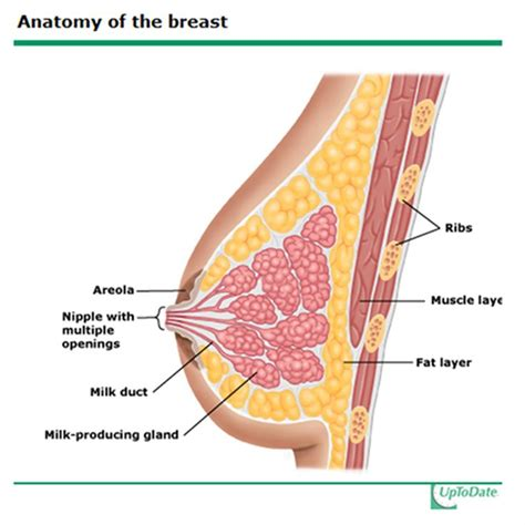 cross section of breast 109 best images about cross sectional anatomy on pinterest