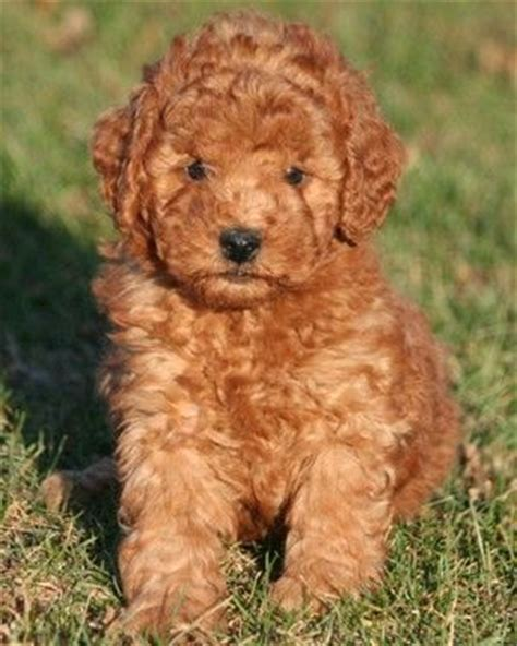 goldendoodle puppy facts miniature goldendoodle breed information photos and