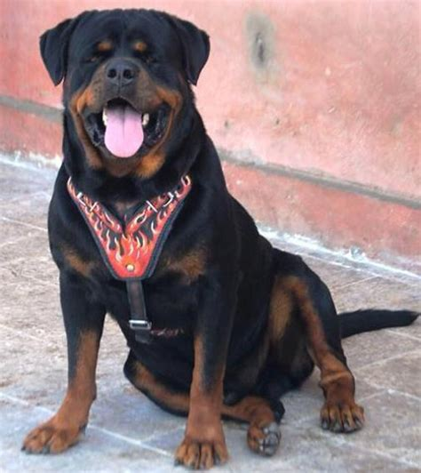 rottweiler harness rottweiler harness k9 harness breeds picture