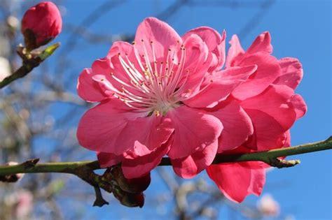 immagini fiori di pesco fiori di pesco significato cure caratteristiche e