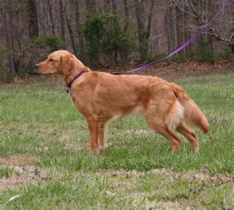 field line golden retriever fern hill golden retrievers beautiful top quality field and working lines with great
