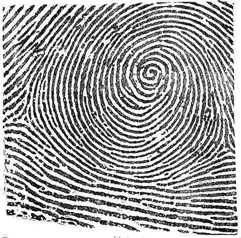 fingerprint pattern meaning whorl driverlayer search engine