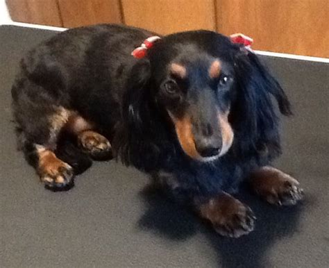 haircuts for long hair dachshunds image gallery long haired dachshund grooming