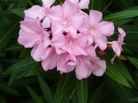 fiori oleandro oleandro piante da giardino