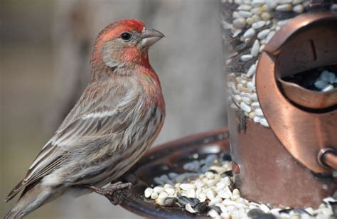 pictures of house finches bird new research links house finch behavior at feeders to the acquisition and spread of eye disease