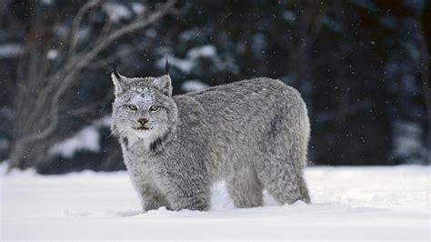 canadian snow lynx o livro da natureza linces