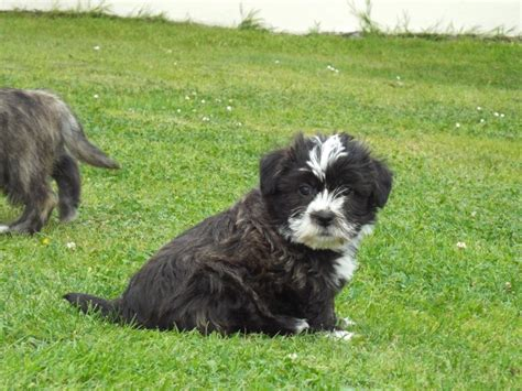 miniature schnauzer cross shih tzu puppies for sale beautiful schnauzer x shih tzu puppies for sale llanelli carmarthenshire pets4homes