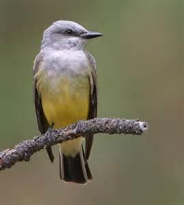 birds western kingbird