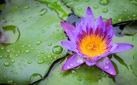 lotus flower purple yellow green color sheet rims water