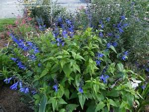 plantfiles pictures salvia blue anise sage brazilian