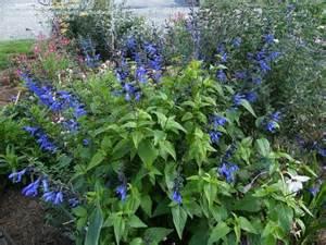 Plantfiles pictures salvia blue anise sage brazilian sage black