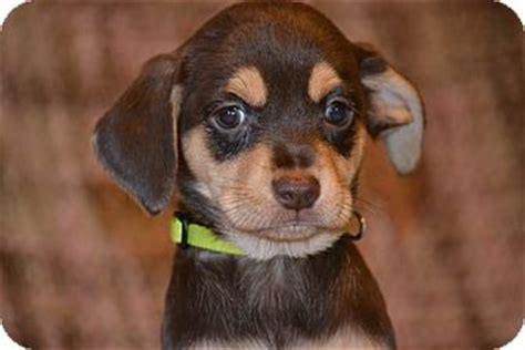 shih tzu beagle mix puppies shih tzu beagle mix puppy for adoption in bedminster new jersey elinor