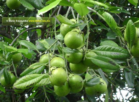imagenes zapote negro herbolaria bd tlahui galer 237 a fotogr 225 fica de plantas