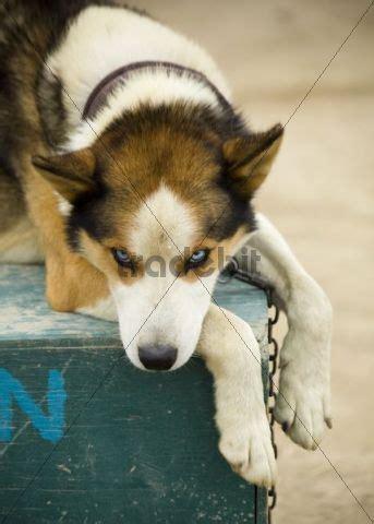 dog house for husky sleddog alaskan husky resting on dog house yukon territory canad