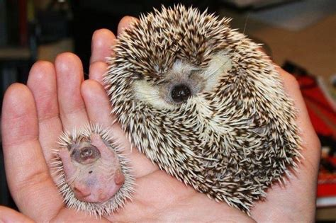 Hedgies Porcupines On Hedgehogs Baby