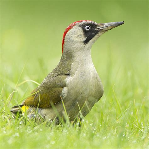 green woodpecker they just love ants british birds