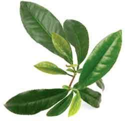 Teh Pucuk Dari Pabrik proses pembuatan produksi teh dari awal hingga akhir