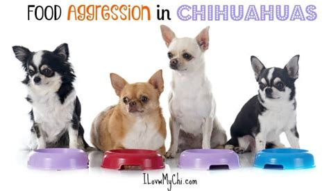 food aggression in dogs dealing with food aggression in chihuahua dogs i my chi